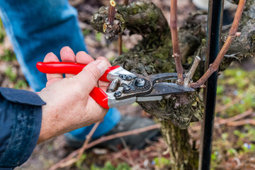 Gardener cutting the vine branch with pruner.