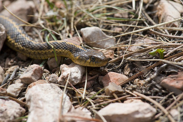 Garter Snake on the Trail in the Pike National Forest of Colorad