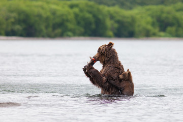 Brown bear on the shore of Kurile Lake