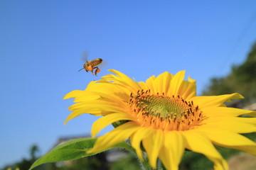 Wall Mural - 向日葵とミツバチ