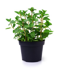 Fresh mint plant in a black pot