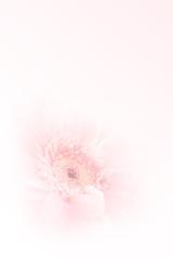 Wall Mural - Soft focused Gerbera flower on pastel filtered color