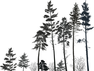 high pine forest black silhouettes on white