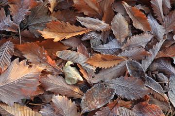 霜の降りた一面の落ち葉