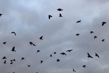 a flock of crows in the sky