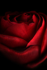 Rose background and texture