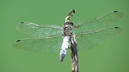 Libelle auf Pflanze im Teich