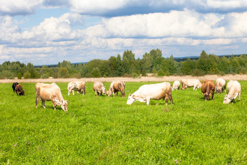 herd of cows in field of grass in the countryside