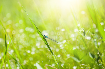 Small dragonfly on the green grass