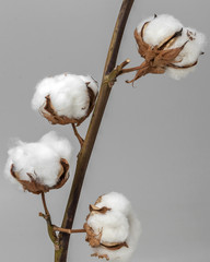 White cotton flower