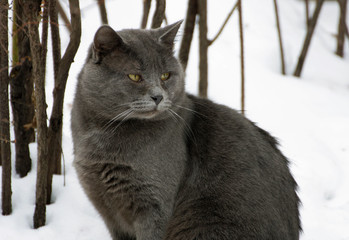 Grey fat cat.