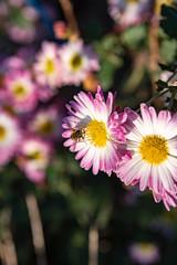 菊と花アブ