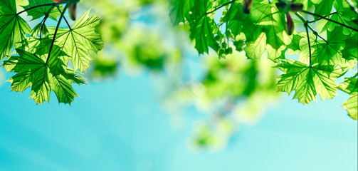Selective focus on spring leaves - fresh spring leaves and blue sky