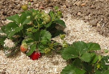 Paillage de fraisiers