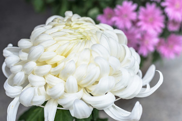 純白の和菊