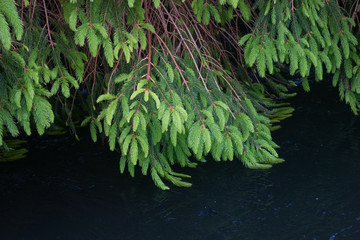 Branch spruce and river water in a forest