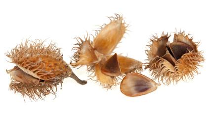 Obraz spilled seed beech - fototapety do salonu