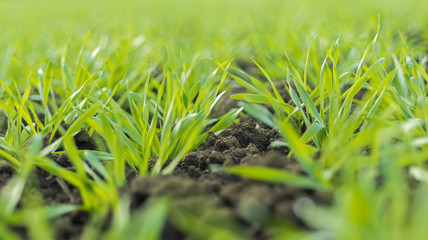 Young Wheat Sprouts Growing in the Field Close Up