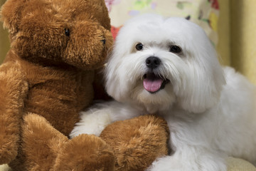 White maltese dog sitting on a couch with a cute teddy-bear