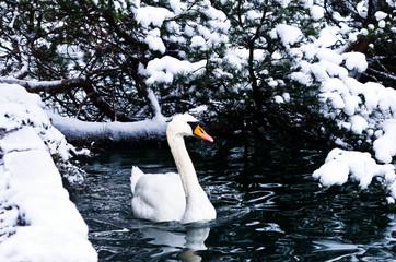Swan on a lake in winter alpen environment, lake Bled, slovenian alps, Slovenia