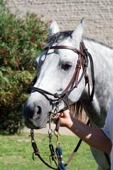 testa di un cavallo con briglia