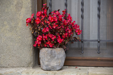 Red begonia in bloom in the stone pot