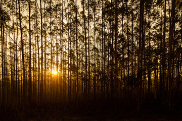 Sunset Behind Row of Trees in Sihlouette