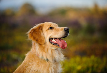 Golden Retriever dog head shot against natural field