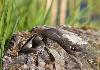Grass snake (Natrix natrix  lying on a rock by a lake.