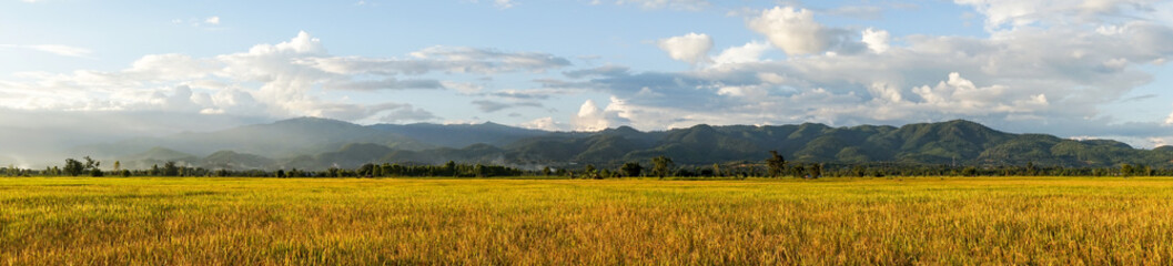 panoramic golden rice field with the blue sky, beautiful rice fi