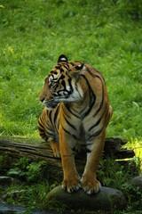 Tiger am Ufer