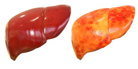 Human Body Organs (Liver Anatomy)
