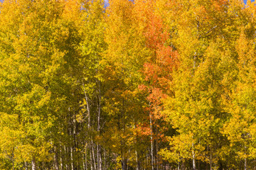 Golden Aspens in Fall