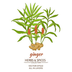ginger vector illustration