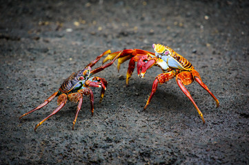 Crabs Battle