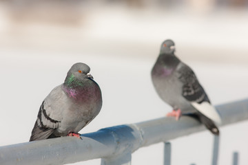 two pigeon in winter