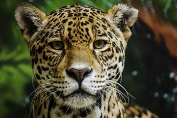 Taunting the Jaguar 3