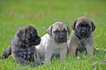 Three English Mastiff puppies sitting together in lawn