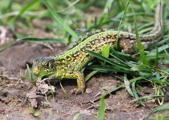 Male sand lizard (Lacerta agilis) on the ground