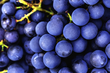 Dark blue ripe grapes for making red wine macro