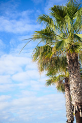 Exotic palm tree in soft light of summer sunny blue sky background