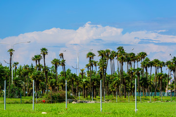 Beautiful palm trees in Batumi seaside park