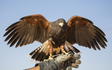 Harrier Hawk on a hand of its trainer near Dubai