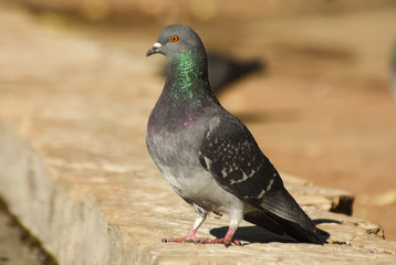 Pigeon standing on a stone, isolated.