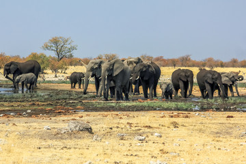 wild African elephants herd playing in savannah of Etosha National Park, at water pool.