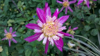lila dahlia