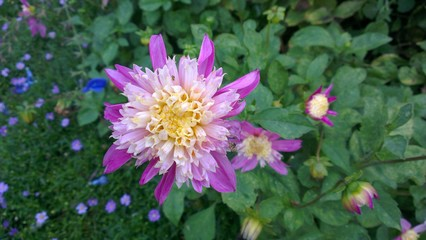 coloured dahlia