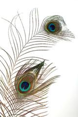 peacock plume