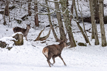 red deer on snow background