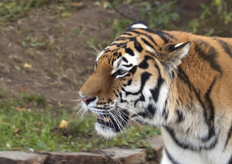 Тигр Siberian tiger